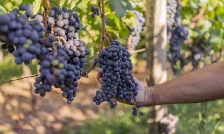 Cooperativa Vinícola Garibaldi registra safra histórica em 2020